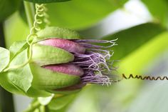 passion-fruit flower :: i need a plant like this!  a vanilla bean orchid too while i'm at it! ; D