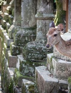 Viikon kuva: Nara, Japani. Kuvan otti Tuukka Ylä-Anttila. Goats, Animals, Animais, Animales, Animaux, Animal, Goat, Dieren