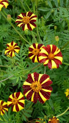 Marigold 'Harlequin' (I grovv these next to my okra.I think I'll plant some next to other vegetables this year) Unusual Flowers, Unusual Plants, All Flowers, Amazing Flowers, My Flower, Colorful Flowers, Beautiful Flowers, Blossom Garden, Flower Pictures