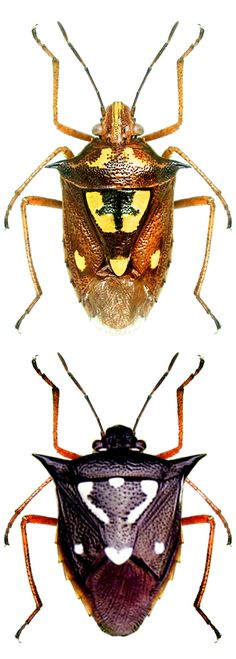 Oebalus poecilus, two different colors