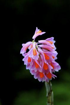 Dendrobium pseudoglomeratum
