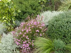 Facing south are plants that can cope with poor and dry soils, like Crowea 'Festival', Lomandra cylindrica 'Lime Cascade' and Westringia spp