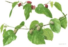 Mulberry tree: Morus alba et nigra. White mulberry is widely cultivated to feed the silkworms  (bombyx mori) employed in the commercial production of silk