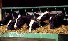 Criação intensiva de animais para consumo de carne tem impactos no meio ambiente e na saúde do consumidor