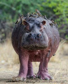 Wildlife Animals & Nature  /  Crusted Bull Hippo Photography by Marc MOL