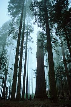 Tree Cathedral.    Atmospheric mist and impossibly tall and slender trees in the Sequoia National park, California.