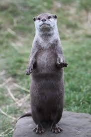 「otter」の画像検索結果