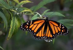 June 2013 article - monarch butterfly is falling victim to summer heat in northern states and diminishing winter habitat in southern California and Mexico.