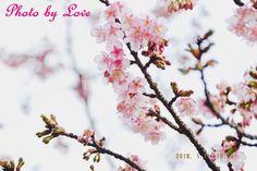 皆様こんばんわ★ 急に忙しくなって、ぜんぜんラテできてないです。 コメントも返しに行けてなくてごめんなさい><。。 1月11日に撮った都内の桜です。 最近寒いし、写真撮りに行けてないですが、そろそろ行きたい(でも土曜日に夜景イルミ撮りましたがw) もぅ心は春だけど、もっと春になっていろんな花に会いたいな by 愛花姫20