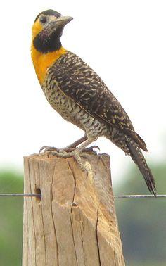 Colaptes campestris - Pantanal, Brazil - Flickr - Photo Sharing!