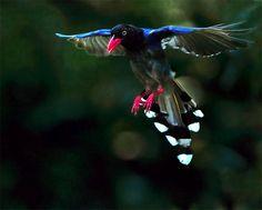 Beautiful Taiwan Blue Magpies Wallpapers, Birds Taiwan Blue Magpies