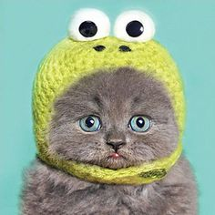 #Funny grey kitten in kermit #bonnet birthday #card, cute cat greeting card,  View more on the LINK: 	http://www.zeppy.io/product/gb/2/271791139043/