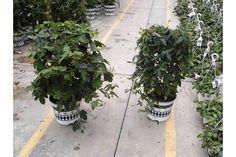 Passiflora OBSESSION 10in Trellis