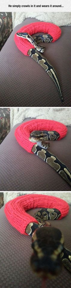 Why ball pythons are the best