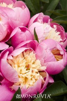 Bowl Of Beauty Peony (Paeonia x 'Bowl of Beauty') - Monrovia - Bowl Of Beauty Peony (Paeonia x 'Bowl of Beauty')