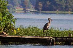 Mr. Blue Heron sun bathing