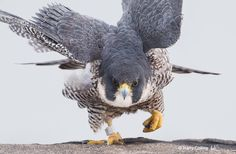 Peregrine falcons in can reach up to 220mph when diving for prey | Photo by Harry Collins