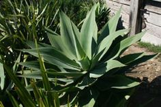 The good old agave is elegant, extremely hardy and a great contrast to other foliage (agave attenuata)
