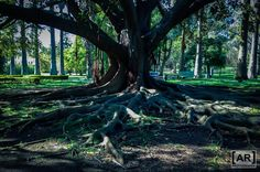 #tree #roots #garden #botanical #nature #belém #lisboa #lisbon #photooftheday #follow #arphotography #photography #photo #original #green #peaceful #portugal #natural #land