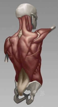 Drawing reference- back (male)(muscle)(bones) Anatomy Back, Muscle Anatomy, Anatomy Study, Body Anatomy, Human Anatomy, Shoulder Anatomy, Anatomy Sketches, Anatomy Drawing, Human Reference