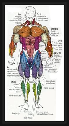 Human Anatomy Diagram | buildingmuscleworldwide.com