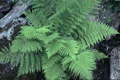 Athyrium filix-femina ssp. cyclosorum  (lady fern) Photo of Athyrium filix-femina ssp. cyclosorum by Jim Riley