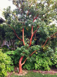 Strawberry tree 'Marina', Arbutus 'Marina' our front yard - Another! Unique Trees, Small Trees, Trees And Shrubs, Trees To Plant, Tree Planting, Garden Trees, Garden Plants, Succulents Garden, Small Gardens