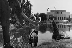The La Brea tar pits adjacent to the Los Angeles County Museum of Art. | Photo: Ralph Morris Collection/LAPL