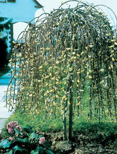 20 Best Trees For Exposed Coastal Gardens Wind And Salt