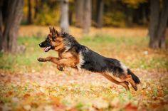 25 Reasons to Adopt a German Shepherd | PetBreeds