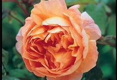 English Roses - Google Search