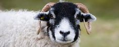 swaledale sheep - Google Search