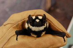 New Genus of Bat Discovered, Looks Just Like a Tiny Flying Badger! : The Featured Creature