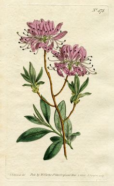 CURTIS BOTANICAL MAGAZINE, 1800: No.474, RHODODENDRON; Hand-Colored Engraving