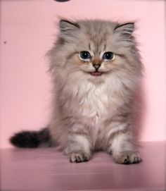 Jalousie - Femelle - British longhair seal golden tabby point - #cat #chat…
