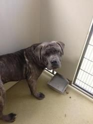 Roscoe is an adoptable Mastiff Dog in Fresno, CA. Please email us for an application if you are interested in this pet. This will be a very large and strong dog, although he is great with kids you mus...