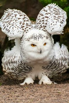 Snowy Owl by Hermen