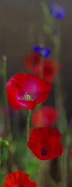 red poppies I love Flowers One of my favorite things about living. being able to smell and see true beauty