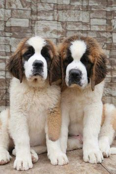 St Bernard pups.  Just too cute
