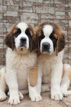 St Bernard pups.  Just too cute