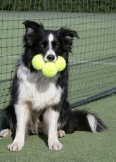 Dog - Border collie with tennis balls on court #bordercollie