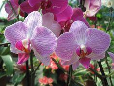 Orchidea a righe