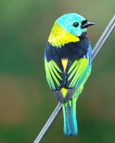 Green-Headed Tanager finch