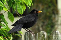 Northern Blackbird