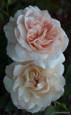 'Bredon' | Shrub, David Austin English Rose. Bred by David C. H. Austin, 1984