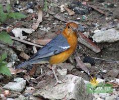 Orange headed Thrush Sunderban Photo Credit: Nilanjan Patra