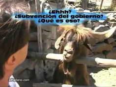 my stomach still hurts from laughing- funny spanish goat