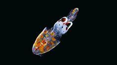 A baby squid, photo SHARIF MIRSHAK