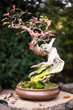 Indoor or Outside Ornamental Flowering Bonsai Timber Some bonsai timber like every other tree flower and produce fruit. A daily apple tree, for instan. Flowering Bonsai Tree, Bonsai Trees For Sale, Bonsai Tree Care, Bonsai Tree Types, Indoor Bonsai Tree, Bonsai Plants, Bonsai Garden, Plantas Bonsai, Mini Bonsai