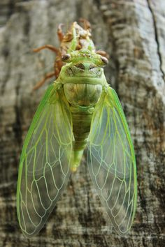 """Photo by Allen Newberry : """"Found a cicada on one of my beehives today. I moved him to my anvil stump and he decided to sprout some wings."""""""